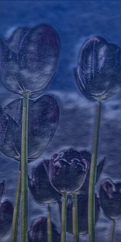 Tulpen_01